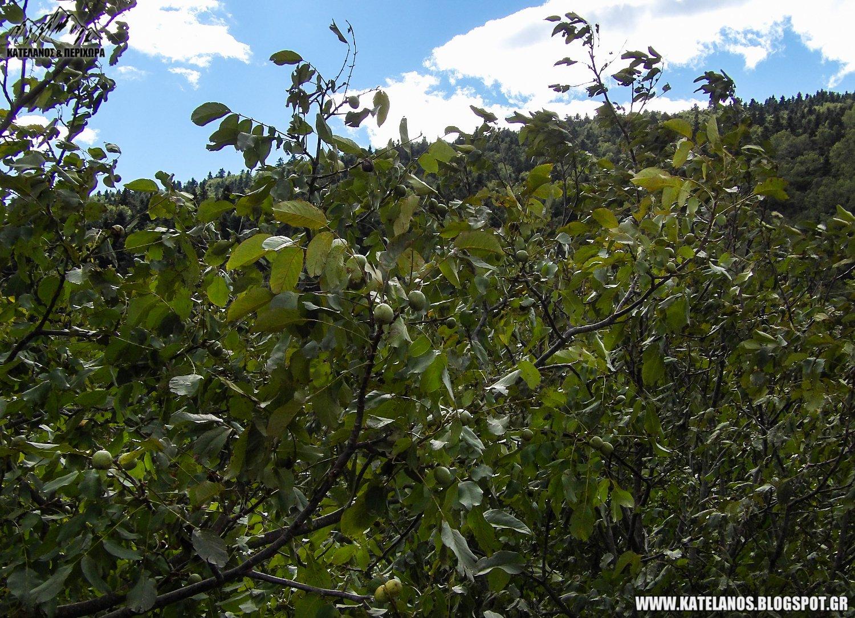 δάσος από καρυδιές σκαλτίνα σκαλιτίνα αγίου βλασίου αιτωλοακαρνανίας