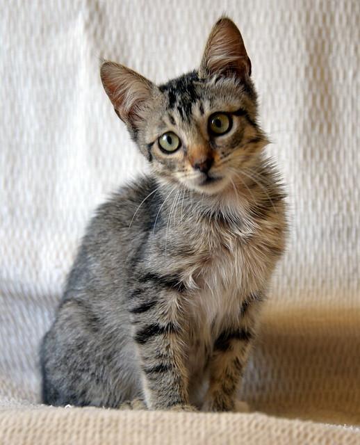 Free, gatita parda guapa y mimosa, muy buena, nacida en Julio´18, en adopción. Valencia. ADOPTADA. 44277404165_997f03ed9e_z