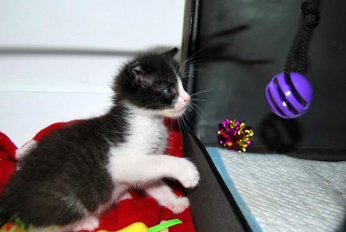 Hugo, gatito blanquinegro adorable nacido en Octubre´18, en adopción. Valencia. ADOPTADO. 45787017931_274403608e