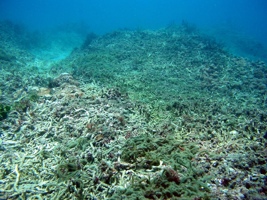 墾丁白化珊瑚(興大生科系林幸助教授提供)