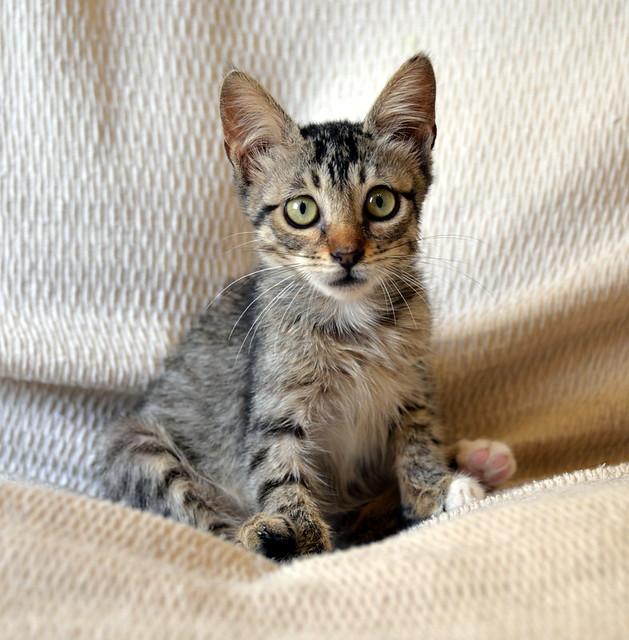 Free, gatita parda guapa y mimosa, muy buena, nacida en Julio´18, en adopción. Valencia. ADOPTADA. 43374404230_b41beb7f72_z