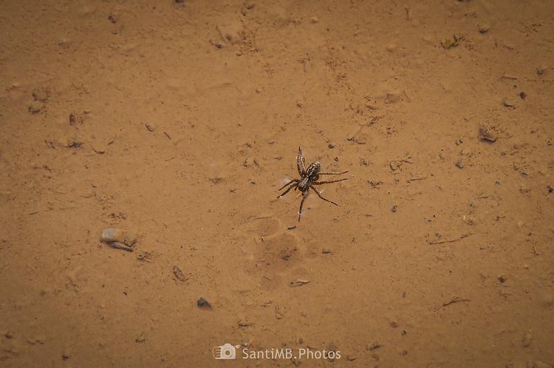 Araña caminando sobre el agua