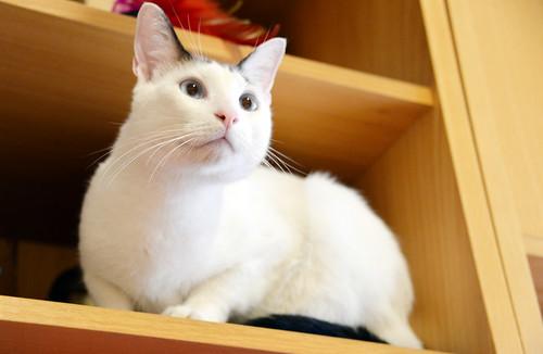 Blau, gato cruce Snowshoe nacido en enero´17 esterilizado, apto para gatos machos, en adopción. Valencia. 44465846144_f7f8b85829