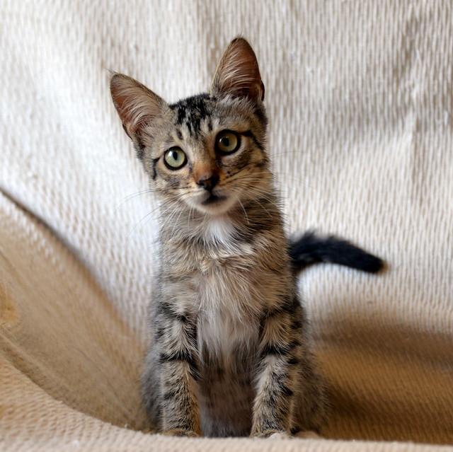 Free, gatita parda guapa y mimosa, muy buena, nacida en Julio´18, en adopción. Valencia. ADOPTADA. 43374407510_779e751248_z