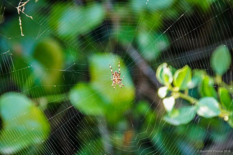 Araña de jardín en su tela
