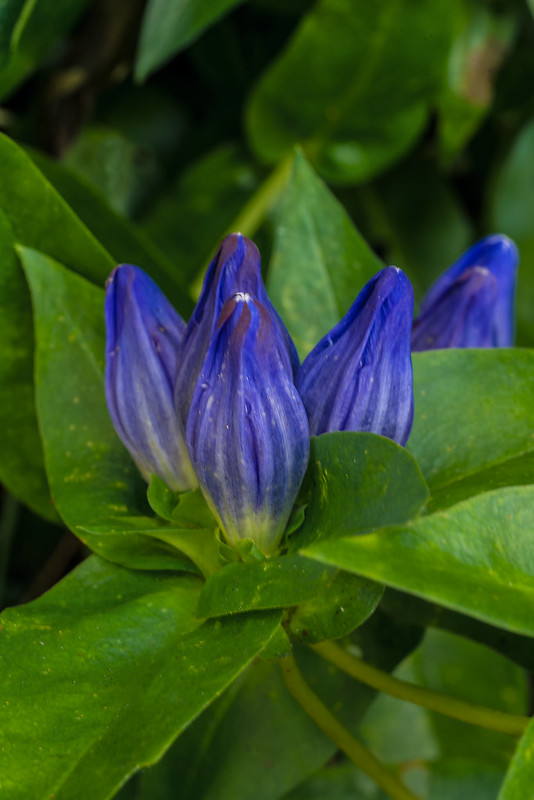 Balsam Mountain Gentian