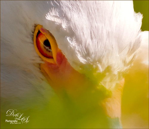 Image of an egret's eye