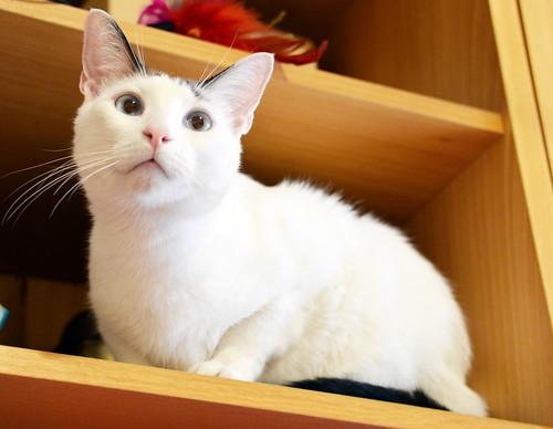 Blau, gato cruce Snowshoe nacido en enero´17 esterilizado, apto para gatos machos, en adopción. Valencia. 44465842664_579e04a1c9