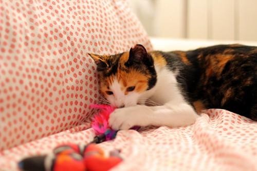 Yaiza, gatita tricolor guapísima y dulce esterilizada, nacida en Abril´18, en adopción. Valencia. ADOPTADA. 44383519724_0f077354e4