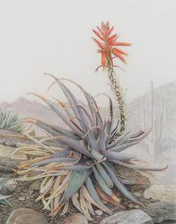Aloe by Dorothy DePaulo