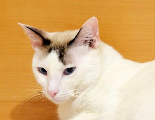 Blau, gato cruce Snowshoe nacido en enero´17 esterilizado, apto para gatos machos, en adopción. Valencia. 44277217795_f41e3755fb