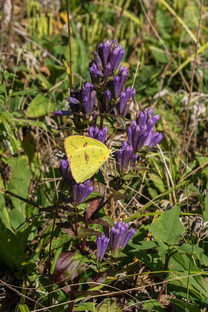 Stiff Gentian with Cloudless Sulphur Butterfly