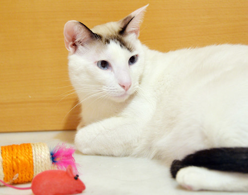 Blau, gato cruce Snowshoe nacido en enero´17 esterilizado, apto para gatos machos, en adopción. Valencia. 44465852204_ae1a6ff8a9