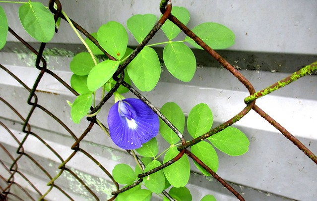 Butterfly pea flower 1st to bloom 2