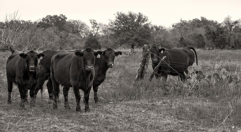 IPCC特別報告的腳本之一:寄望於科技的救贖,以解決畜牧業等高碳排活動帶來的暖化危機。圖片來源:Anne Worner for Creative Commons
