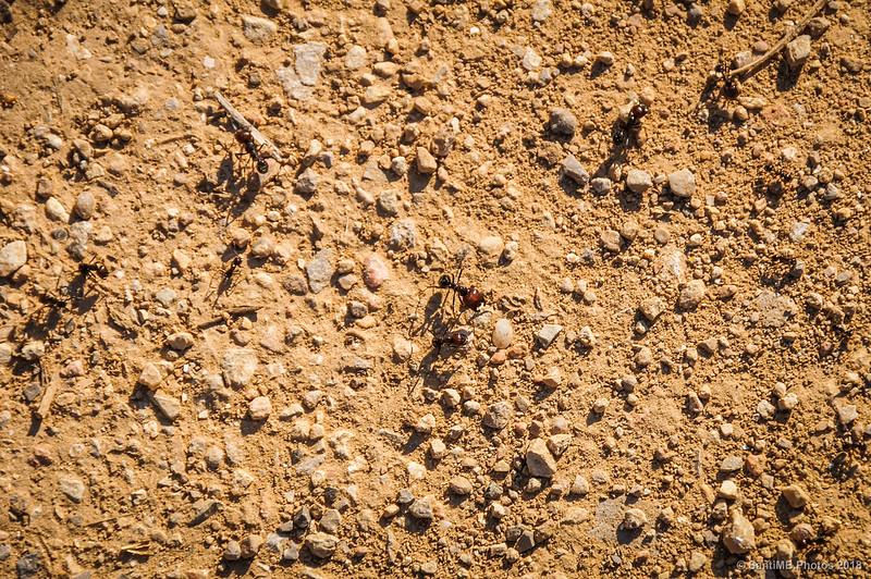 Hormigas en el camino de la Seguera