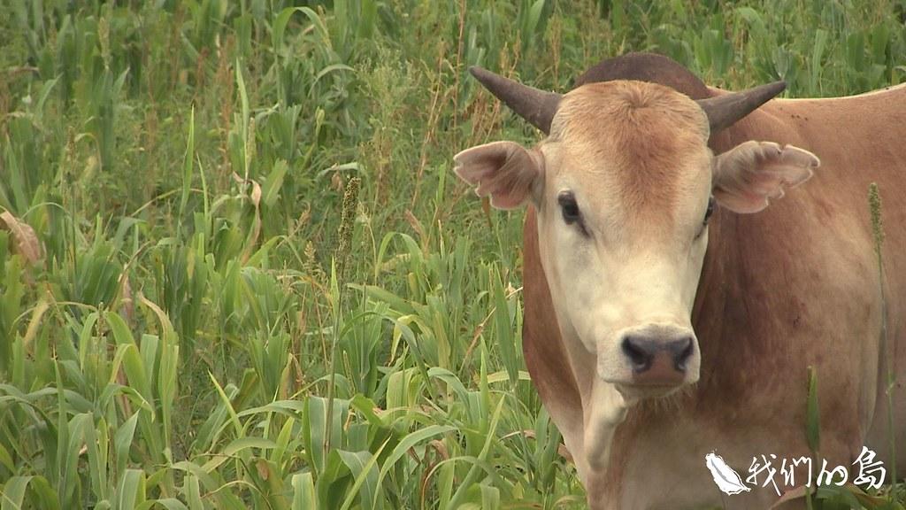 畜產試驗所恆春分所持續推廣台灣黃牛。目前已有民間業者以技轉方式,發展台灣黃牛肉品牌。