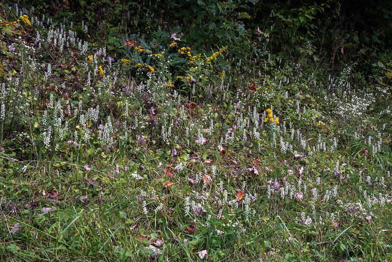 Large population of Nodding Ladies'-tresses orchids