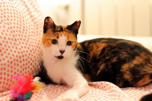 Yaiza, gatita tricolor guapísima y dulce esterilizada, nacida en Abril´18, en adopción. Valencia. ADOPTADA. 45104135571_61f9cf94c0