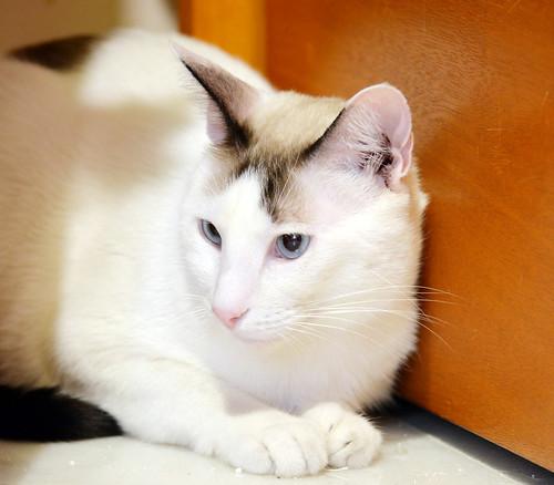 Blau, gato cruce Snowshoe nacido en enero´17 esterilizado, apto para gatos machos, en adopción. Valencia. 45138996822_c957aafa04