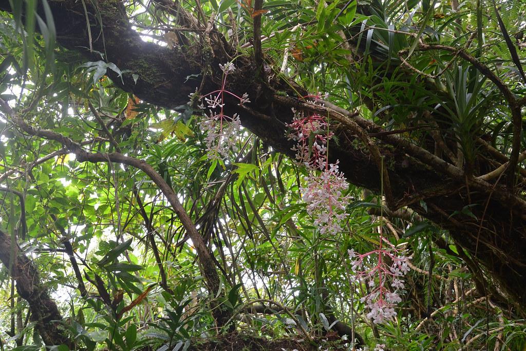 蘭嶼野牡丹藤。圖片來源:陳建帆