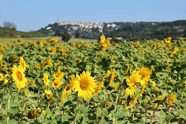 Sunflowers and village-perche, Drome Provencal, France