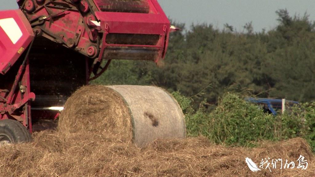 籠仔埔草原上,乾草打包機把曬成金黃色的牧草做成牧草捲,牛羊在冬季也有糧草可吃。