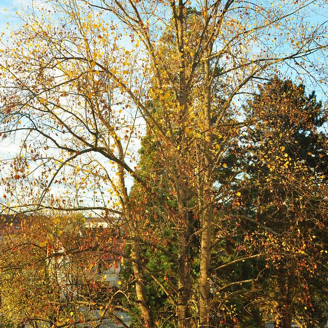 November in Bad Rappenau --- Gelbe Herbstblätter und muntere Vögel --- Herbststimmung --- Foto: Brigitte Stolle 2018