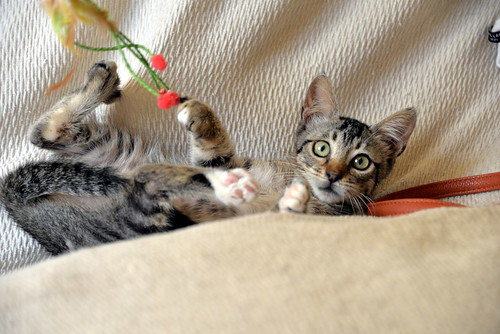 Free, gatita parda guapa y mimosa, muy buena, nacida en Julio´18, en adopción. Valencia. ADOPTADA. 43374400400_c17d2edb77