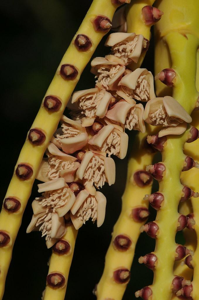 成熟的山檳榔雄花