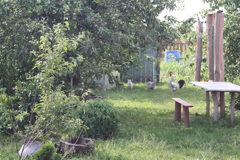 Куры и петух в саду