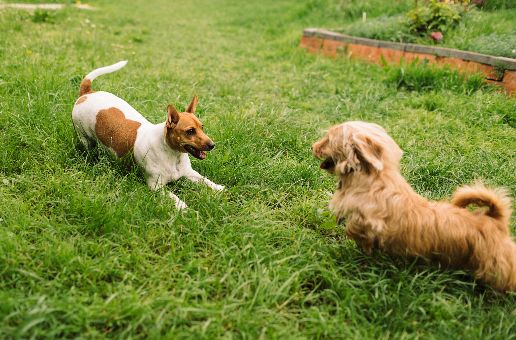 Leo, a Jack Russell, and Beanie facing each other about to leap at each other.