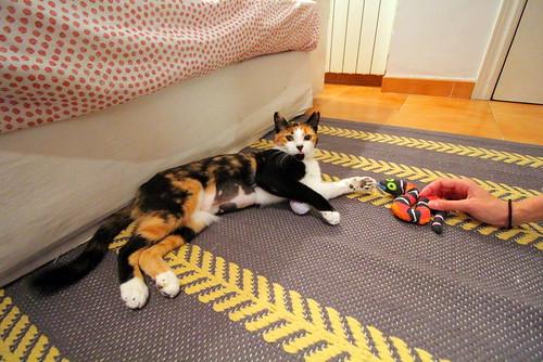 Yaiza, gatita tricolor guapísima y dulce esterilizada, nacida en Abril´18, en adopción. Valencia. ADOPTADA. 30166045677_e716590c59