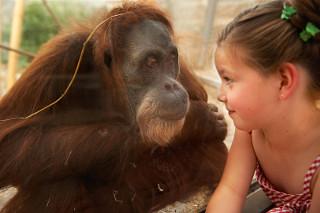 Oerang Oetang in een dierentuin in duitsland