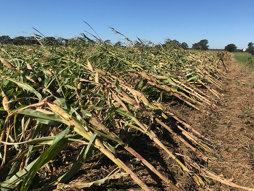 Corn damaged by Hurricane Michael