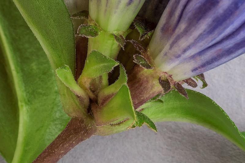Important distinguishing parts of Gentiana austromontana