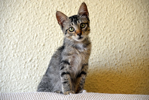 Free, gatita parda guapa y mimosa, muy buena, nacida en Julio´18, en adopción. Valencia. ADOPTADA. 30249563017_1b25f78b4a
