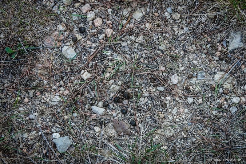 Excrementos de conejo en el Fondo de la Vall