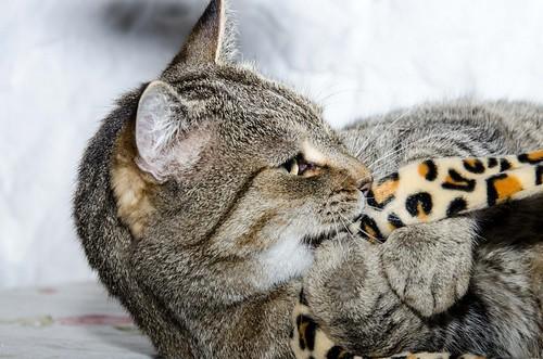 Bandit, gato pardo ojos verdes súper bueno esterilizado, nacido en Marzo´16, en adopción. Valencia. ADOPTADO. 32377524568_1feddb0e37