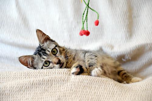 Free, gatita parda guapa y mimosa, muy buena, nacida en Julio´18, en adopción. Valencia. ADOPTADA. 43374395390_6c44aa9e73
