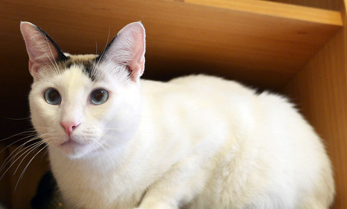 Blau, gato cruce Snowshoe nacido en enero´17 esterilizado, apto para gatos machos, en adopción. Valencia. 45139001222_a86280729e