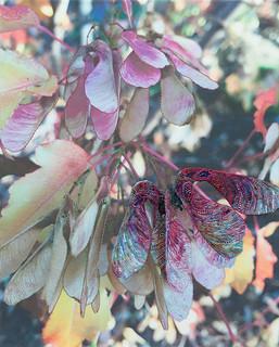 Maple by Kathy Mitchell-Garton