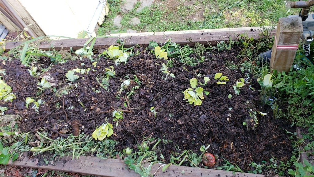 Why I love Oregano in the garden. 44117523675_e1f46b578c_b