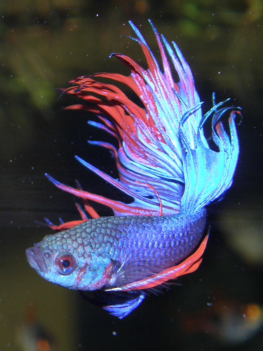 Betta splendens 3 | by copepodo