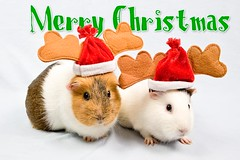 Christmas Piggies | by Swansea Photographer