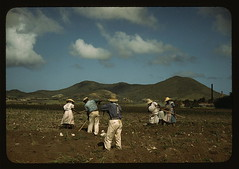 Cultivating sugar cane of the Virgin Islands Company land, vicinity of Bethlehem, St. Croix   (LOC) | by The Library of Congress