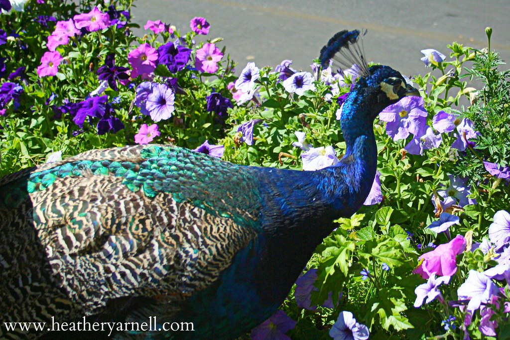 Peacock Among Petunia