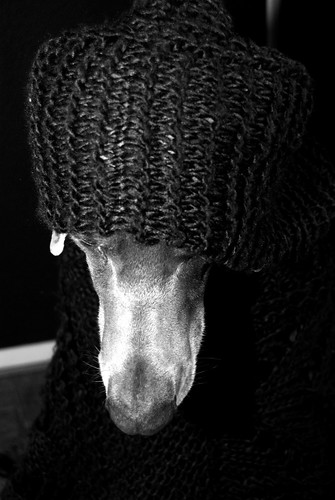 Hooded weimaraner | by [MogI]
