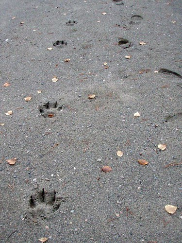 Wolf Tracks | by Mangrove Mike
