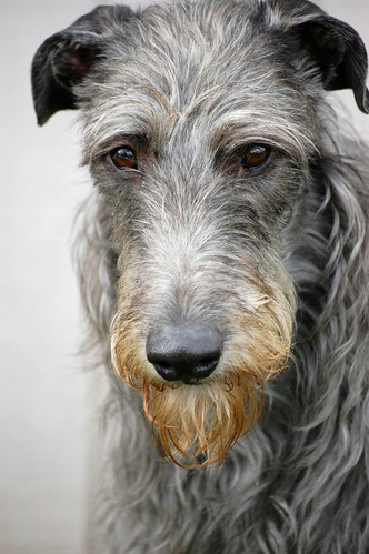 My Gorgeous Deerhound | by Jenya Campbell